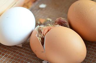 chicks-706493_1920.jpg