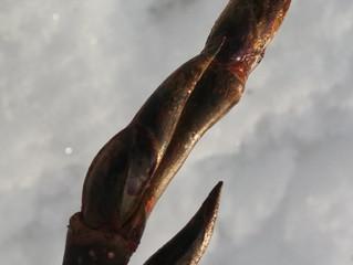 Cottonwood Bud Oil