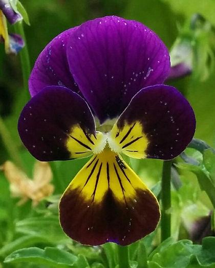 Viola tricolor - Heartsease.