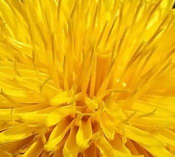 Dandelion 3 (1).jpg