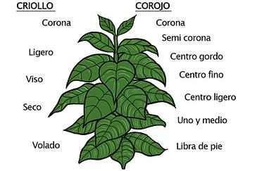 Corojo vs Criollo