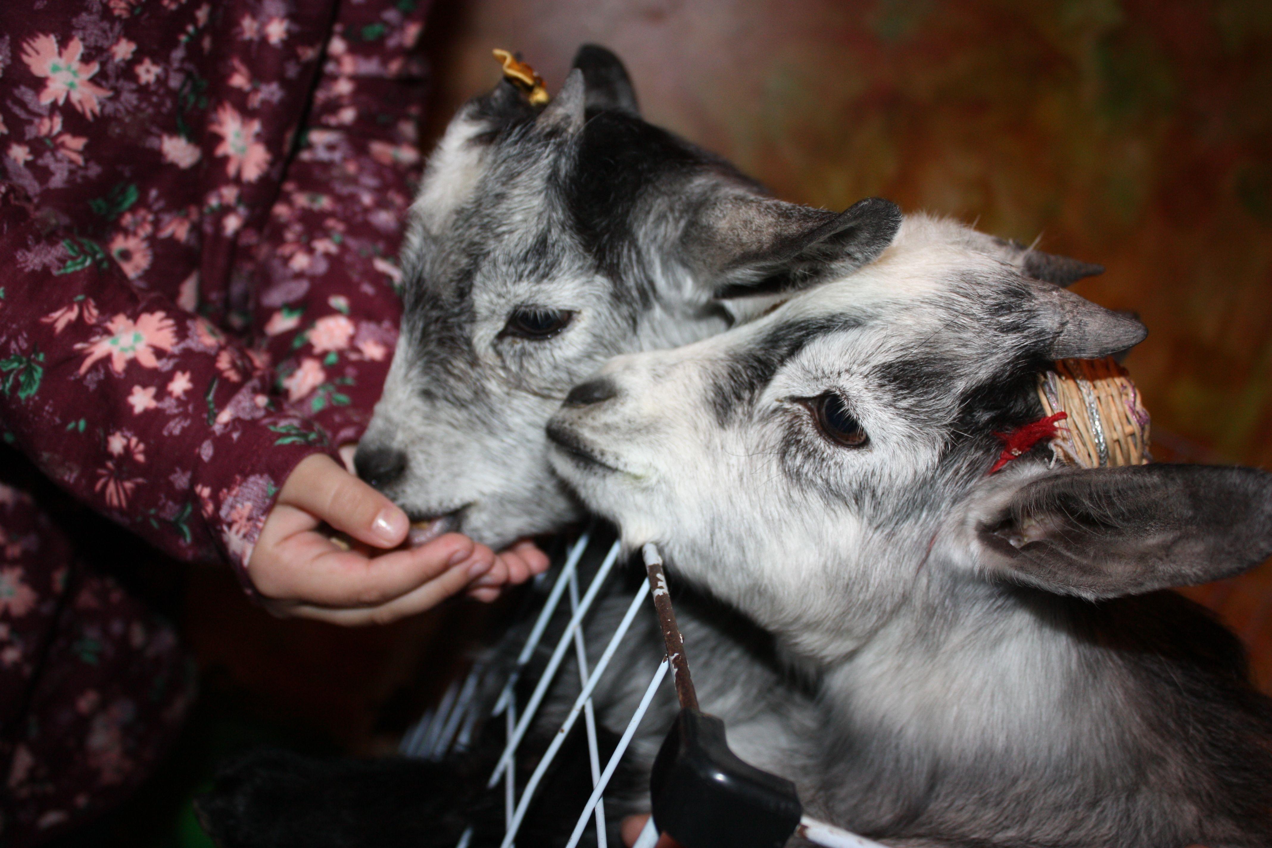 Bode e Cabra