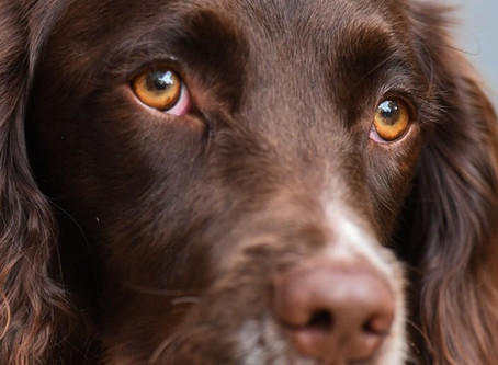 Eye Health In Dogs
