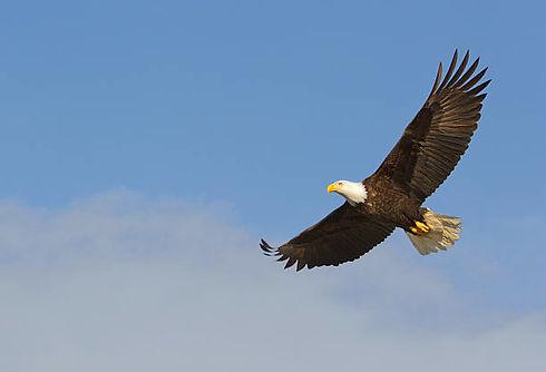 Adler2.jpg