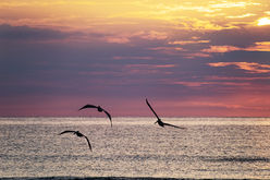 Pelicans at sunrise