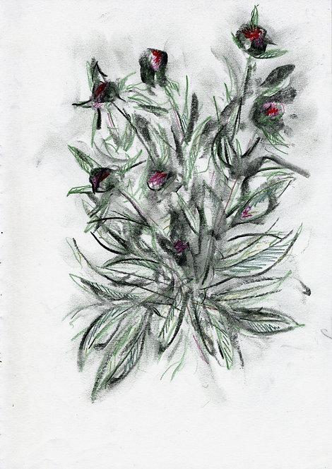 Ilya Grinberg, Pivoines en bouton, 2019, fusain et crayon de couleur sur papier.