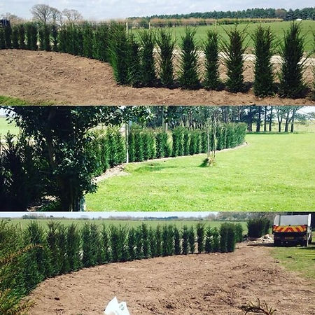 Winding row of planted Yew trees to create a hedge