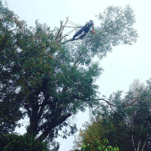 Eucalyptus reduction.jpg