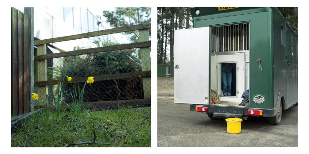 Daffodils Horsebox