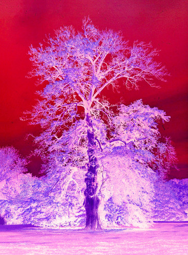 Prince Albert's Oak Tree #1