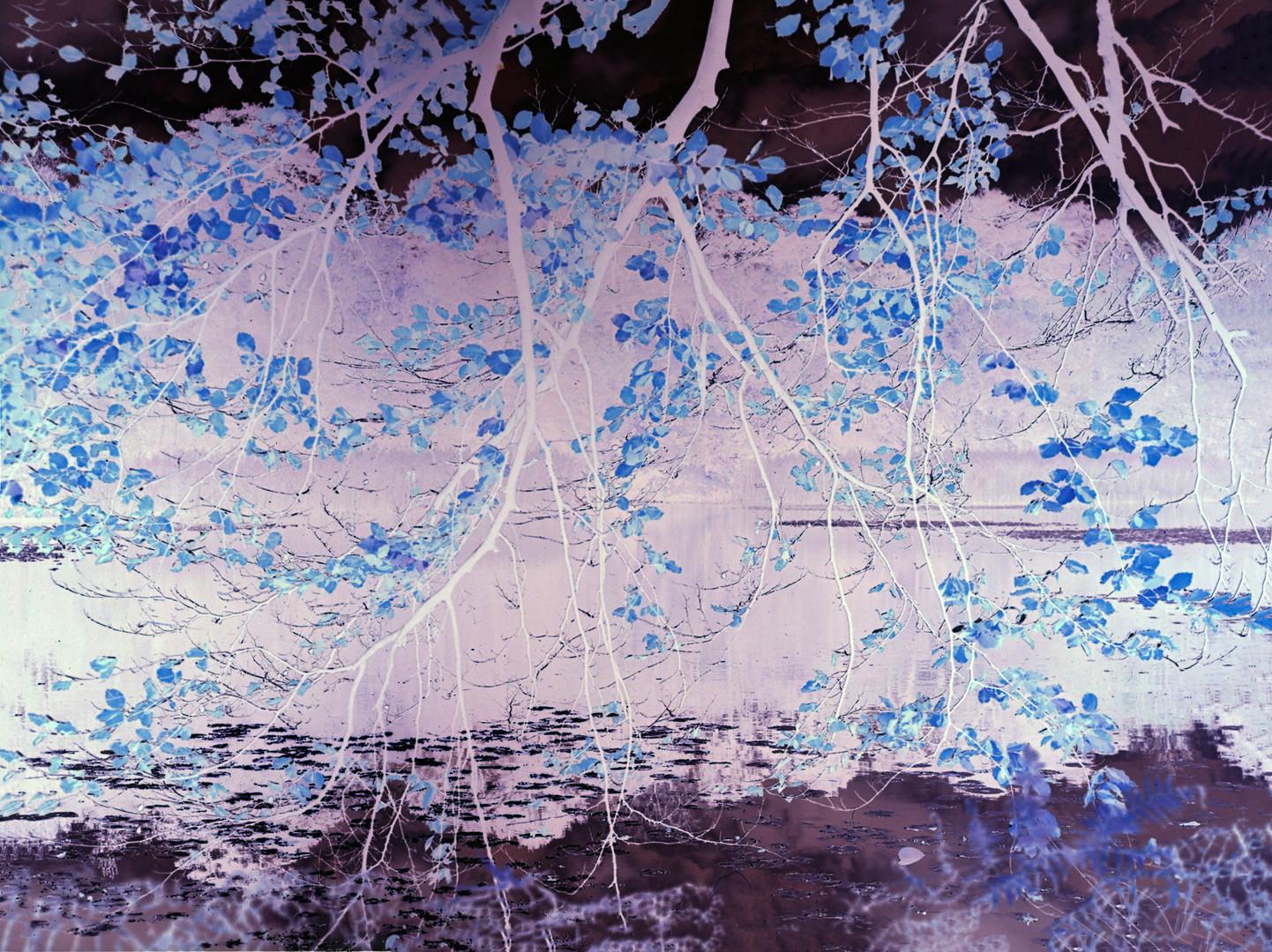 Upper Lake Elm Branches