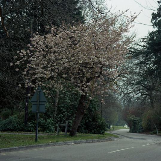 Slim Road Blossom