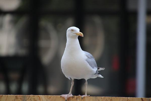 seagull-4334839_1920.jpg