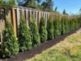 After and before of Arborvitae hedge tea