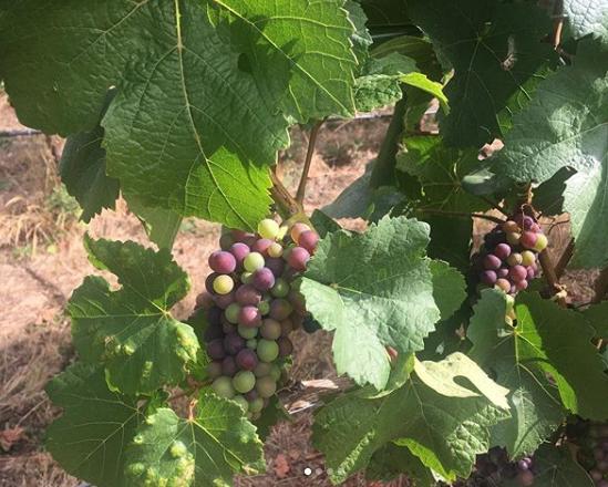 Pinot Noir ripening