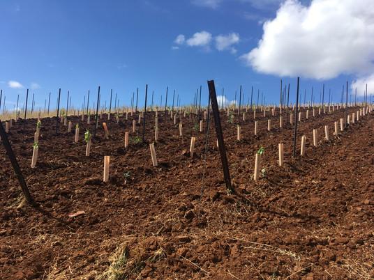 New vineyard plantings