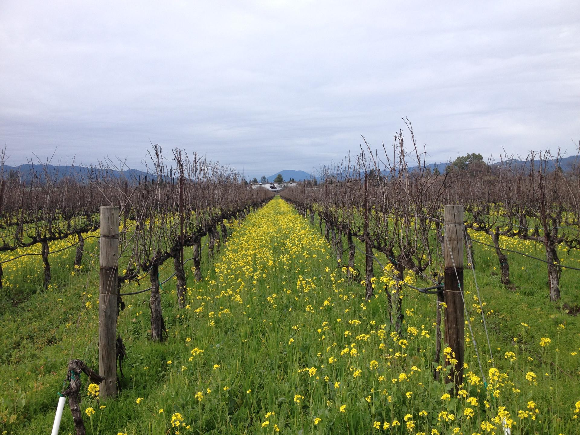 Cover crop- flowering mustard