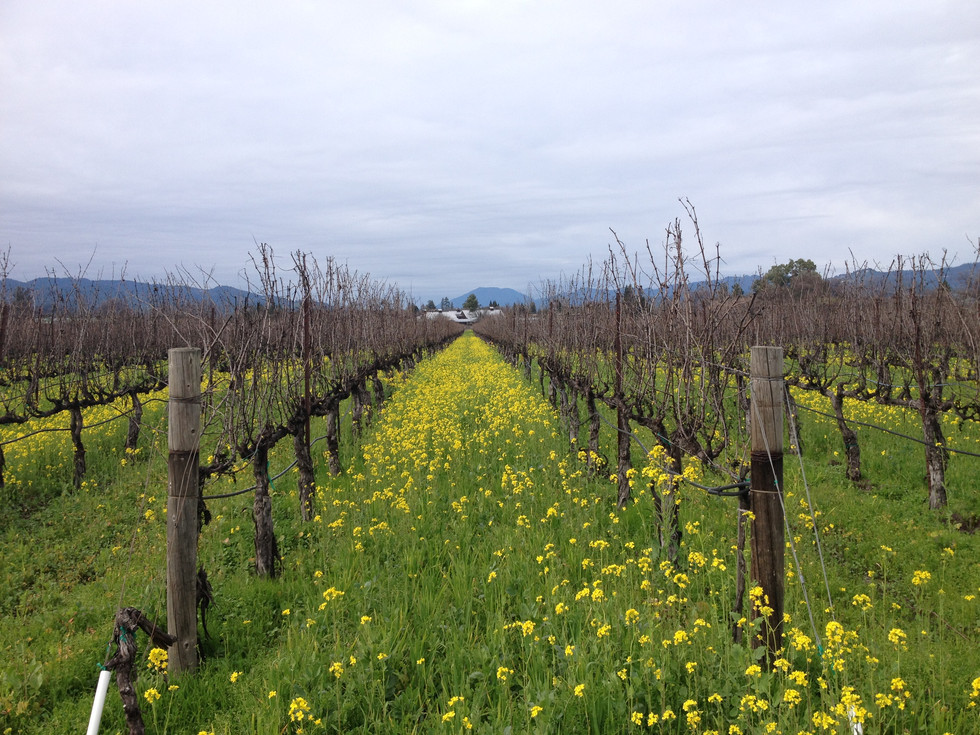Cover crop- flowering mustard