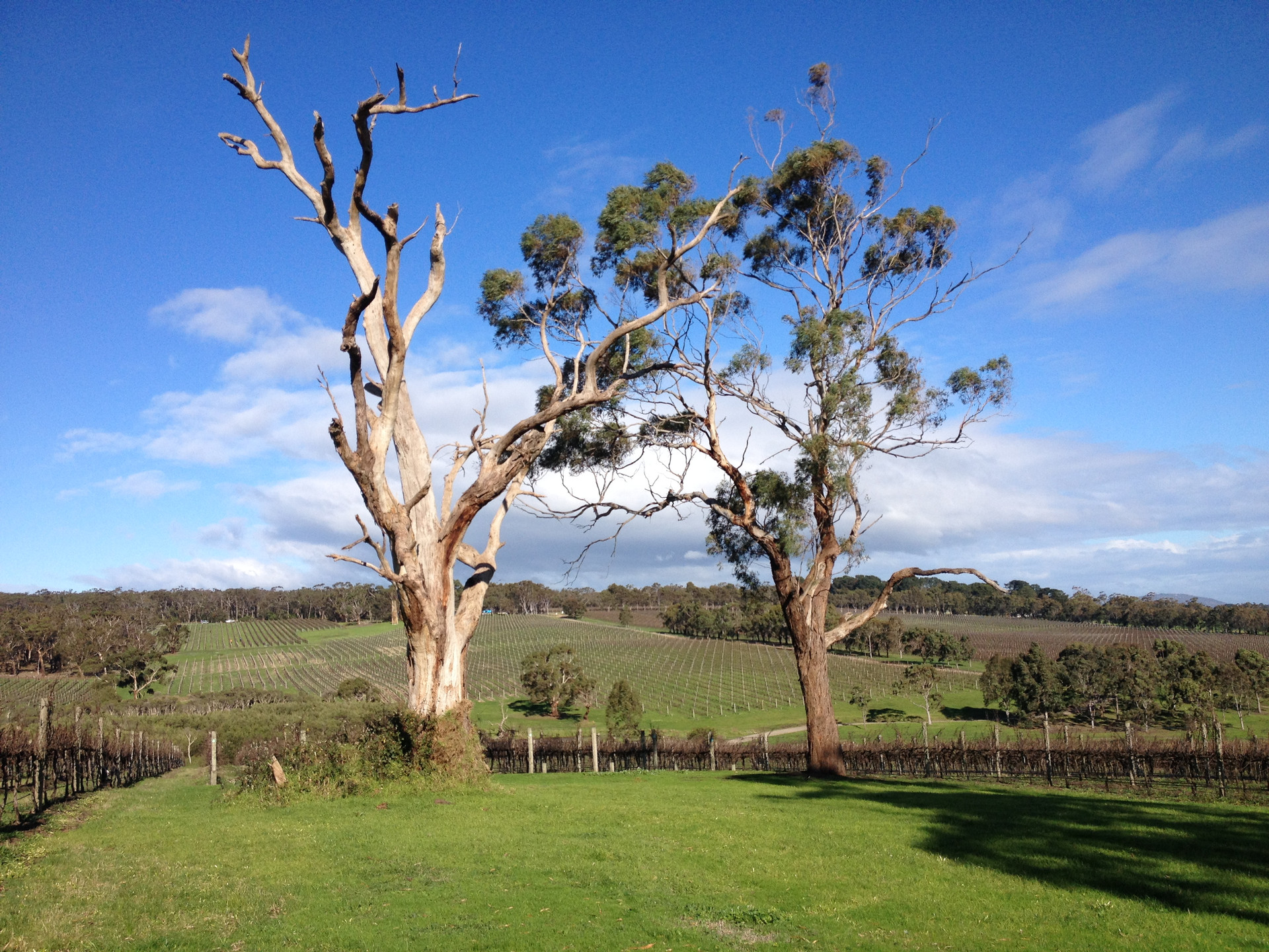 Gum trees in the vineyard