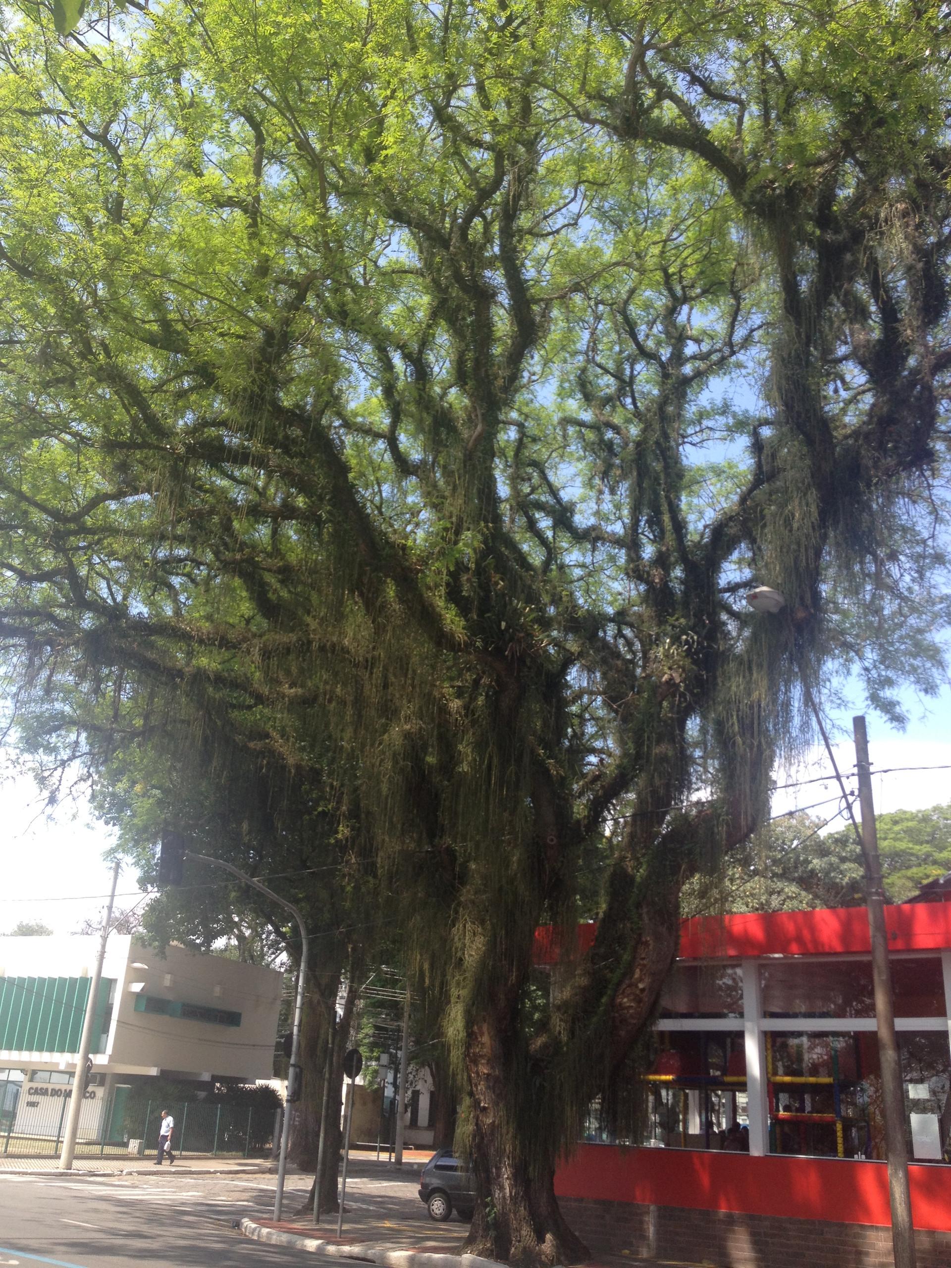 Trees in Sao Jose dos Campos
