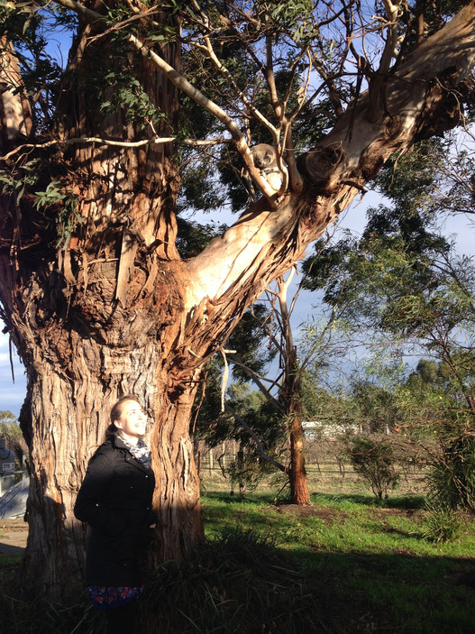 Meeting a koala in a gum tree at a vineyard in Victoria!