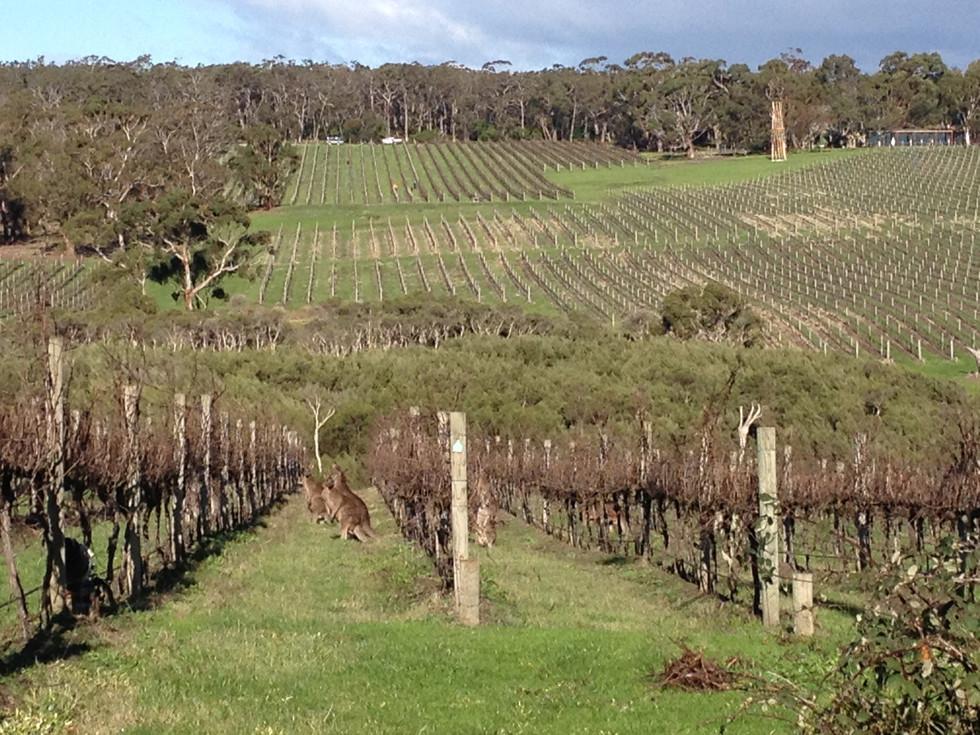 Mornington Peninsula vineyard with kangaroos!