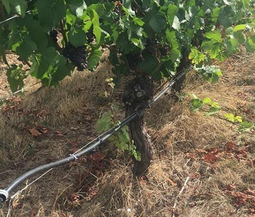 Vineyard drip irrigation
