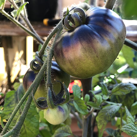 Growing tomatoes, heirloom tomatoes, heirloom seeds, indigo apple, indigo apple tomato