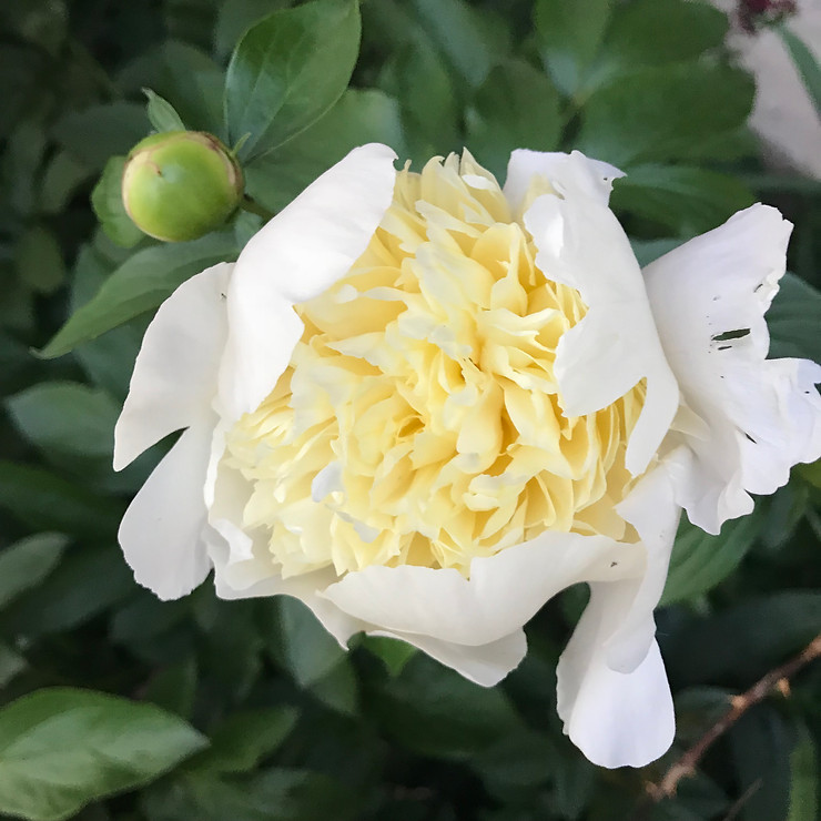 8 Tips to Growing Beautiful Peonies