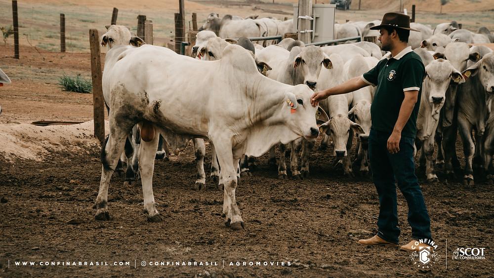 tecnico confina brasil acariciando um bovino.