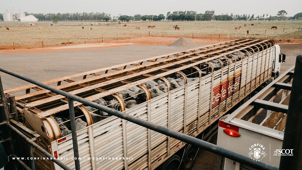 confina brasil. transporte de gado.