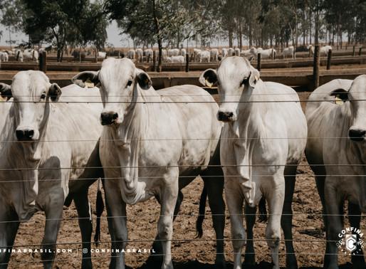 #Ep13 – As potencialidades da pecuária intensiva
