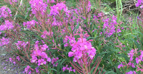 Fireweed and more
