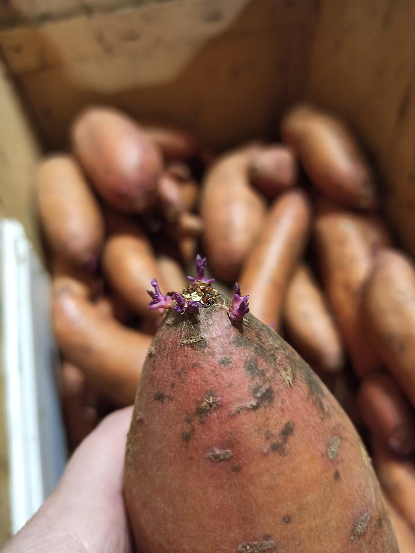 проращивание батата