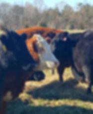 Proffitt-Farm-Cattle-Herd-1024x828.jpg