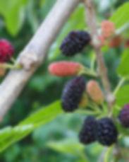 mulberries.JPG