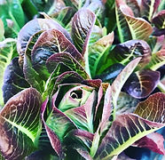 little gem lettuce4.jpg