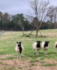 Fox Trot lamb.jpg
