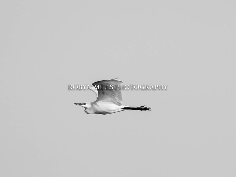 Egret Flying High
