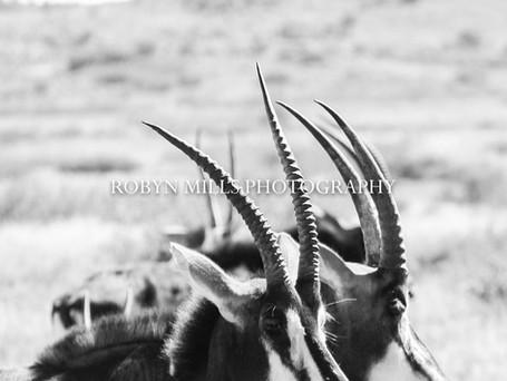 Sable Horns 1/2