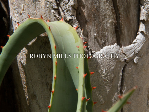 Aloe against Old tree 1/2