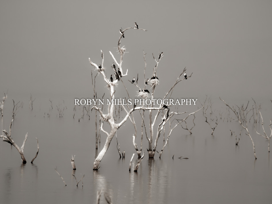 Cormorants at Dusk 2/2