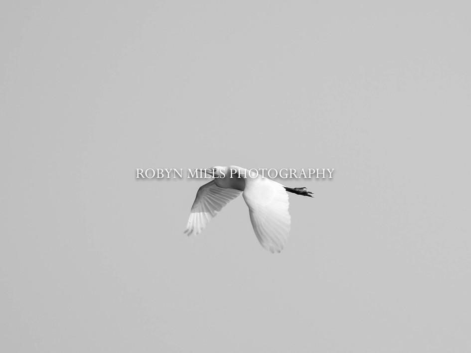 Egret Flying Low