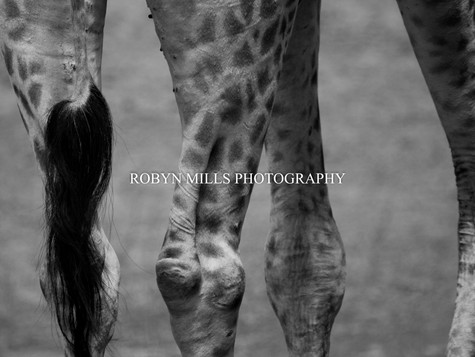 Giraffe Close Up 1/2