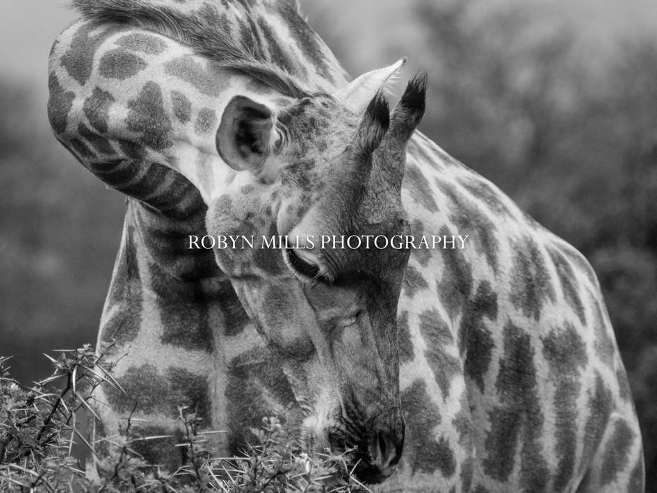 Gentle Giraffe.