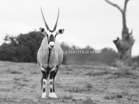 Beautiful Gemsbok