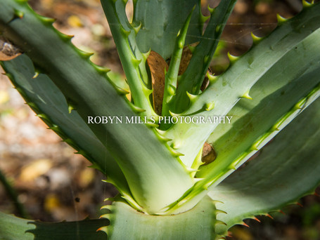 Aloe in the Sunbeam 2/2