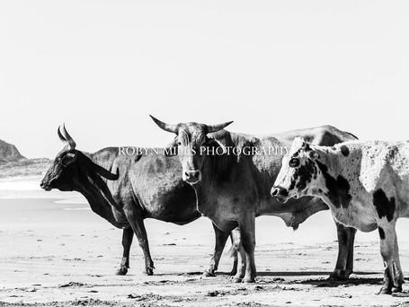 Transkei Beach Cattle