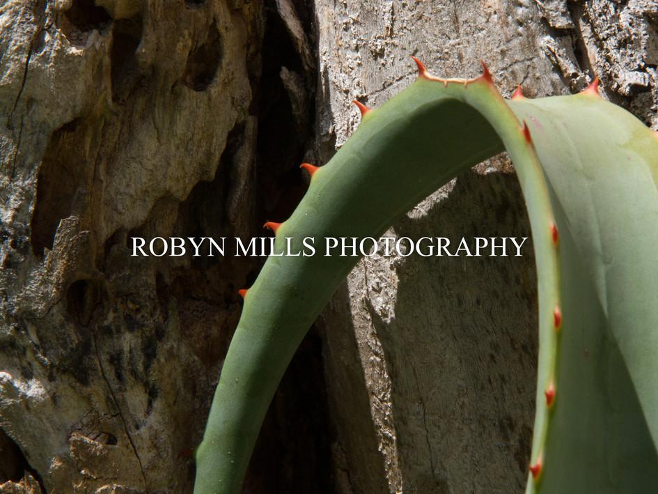 Aloe against Old tree 2/2