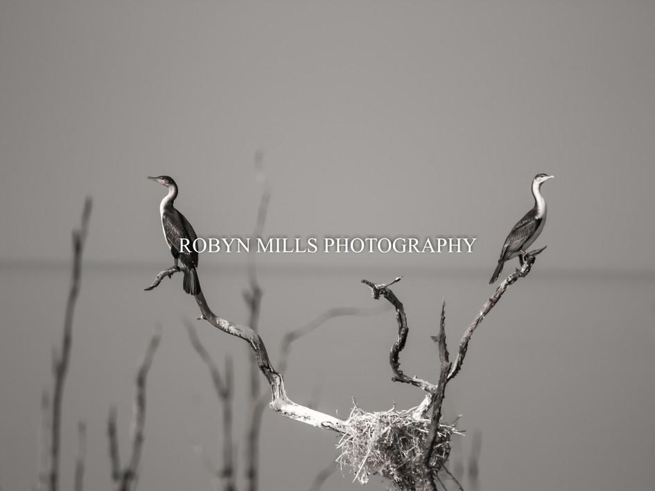 Nesting Cormorants 2/2